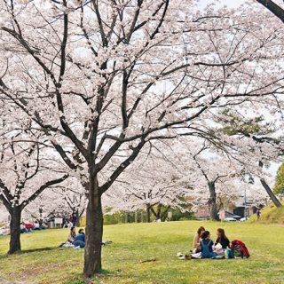 足利公園さくらまつり2017【3月18日~4月9日】