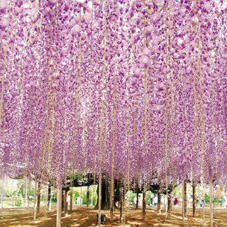 ここは地上の天国か藤の楽園、明日から