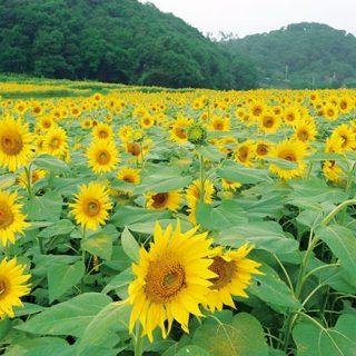 みどり市の秋の風物詩12万本のヒマワリ畑!